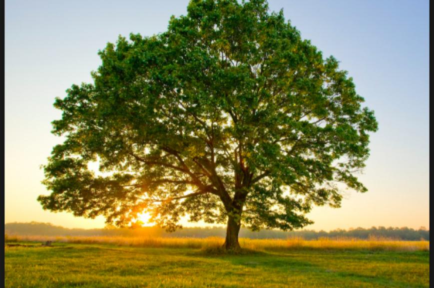 A tree in sun set.